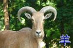 Китайский гороскоп: Коза