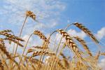 Гороскоп майя: Зерно