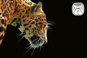 родившиеся под знаком ягуар